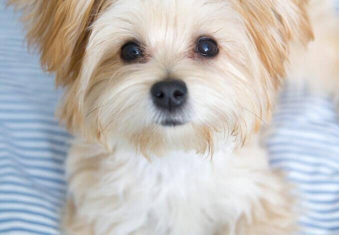 Morkie-Puppy Home