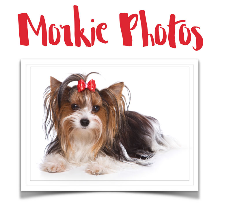 morkie-photos Helpful Morkie Resources