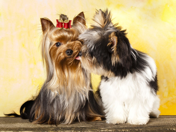 yorkie-and-morkie About Morkies