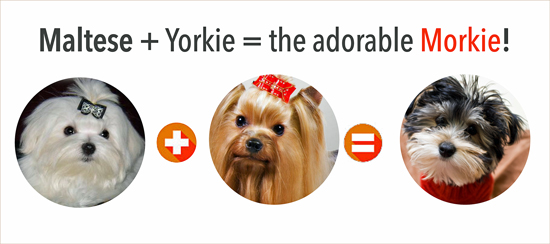 yorkie-plus-maltese-circle What's a Morkie
